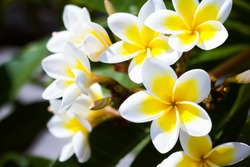 Soft frangipani flower or plumeria flower bouquet on tree branches. Plumeria is a white and yellow petal, and flowering is beauty in Asia, tropical climate.