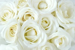 Soft full blown white roses as a background