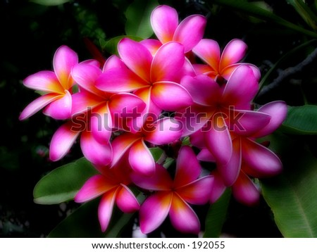 Images Of Hawaiian Flowers. Soft hawaiian flowers