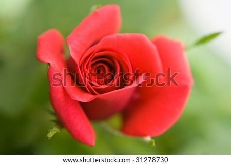 Soft open red rose
