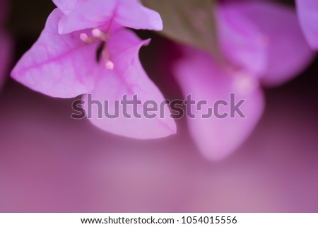 Soft or dreaming style of bougainvillea flowers background #1054015556