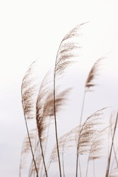 Soft pampas grass in the sky