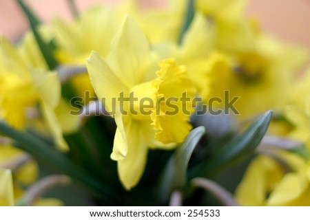 Soft photo of yellow daffodils/narcissus (shallow depth of field).