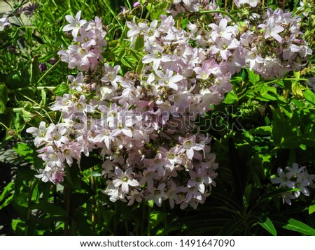 Photo of  Soft pink, bell-shaped flowers of Campanula lactiflora garden plant  (commonly known as Milky bellflower) 'Loddon Anna' plant variety