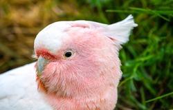 Soft pink parrot portrait. Parrot eye. Soft pink parrot. Parrot portrait