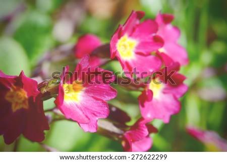 soft pink primrose details. cross processed image.