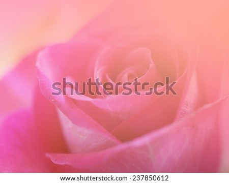 soft pink sweet love flowers backgrounds nature rose single