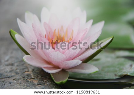 Soft Pink Waterlily/Lotus flowers isolated light and leaves in pond