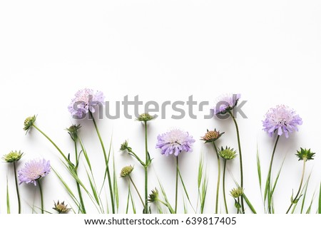 Soft purple meadow flowers (field scabious) on white background.