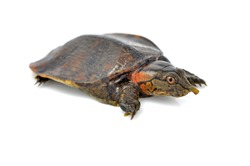 soft-shell turtles - Family: Trionychidae in front of a white backgroung