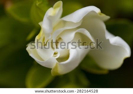 Soft white Gardenia flower close up