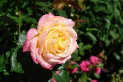 Soft yellow, edged with pink rose flower of the 'Gloria Dei' (Madame A. Meilland, Gioia, Peace) variety in the garden. Beautiful Hybrid Tea Rose with raindrops on the petals, close-up, copy space