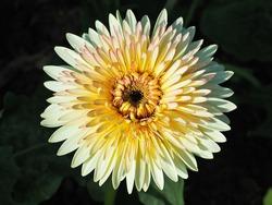 Soft yellow hybrid Gerbera or Barberton daisy flowers (Gerbera jamesonii hybrida)from top view.