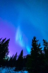 Softly shining aurora borealis. Northern ligths above dark spruce tress. Pastel colors.