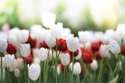 Softness of Red tulips blooming in a tulip field in garden with blurry background and soft sunlight for horizontal floral poster, wallpaper or holidays card. spring-flowering plant of the lily family