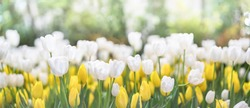 Softness of white tulips blooming in tulip field in garden with blurry background and soft sunlight for horizontal floral poster, wallpaper or holidays card. spring-flowering plant of the lily family