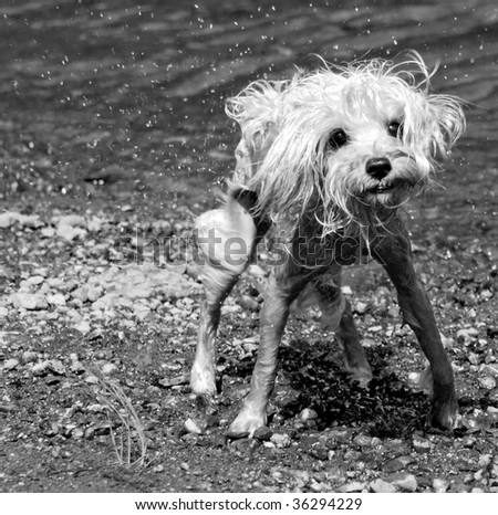 Soggy miniature schnauzer dog emerging from lake
