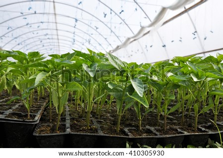 Soil greenhouse with plastic film, which raised early tomatoes, peppers, cucumbers and other vegetables seedlings