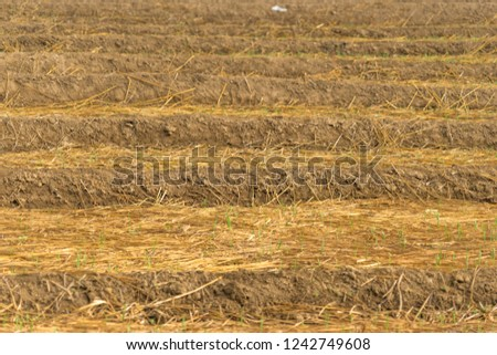 Soil grooving and mulching with rice straw for vegetable cultivation.