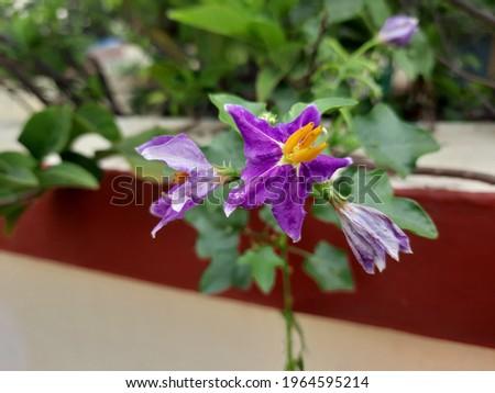 solanum surattense flower nice imae Stock fotó ©