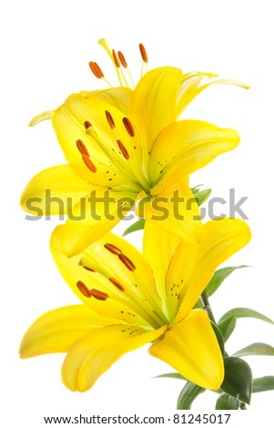 Solar lilies on a white background