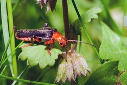 Soldier beetle (Cantharis livida) is a species of soldier beetle belonging to the genus Cantharis family Cantharidae. Close-up.