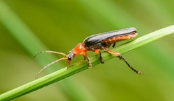 soldier beetle (Cantharis) on grass blade