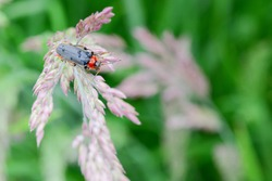 Soldier beetle in the green meadow, cantharis fusca,macro of insect