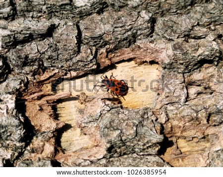 Soldier beetle on the bark in the bright summer sun heats up the month of June