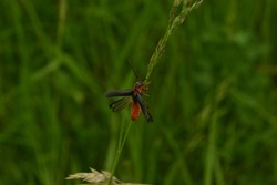 Soldier beetles - beetle with a red body, black wings, long black and red mustache spread its wings in macro photography on a green backgroundn a green background