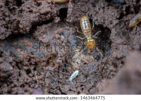 Soldier caste Nasutitermes, a species of tree termite found in the tropics #1463464775