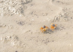 Soldier crabs (Sand-Bubbler crab, Dotilla myctiroides) usually come up on beach in evening when tide low. It quickly run away and cover itself in sand. It can found on beach of southern of Thailand.