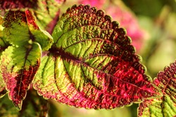 Solenostemon, commonly known as Coleus. the most darkish pink coleus leaves - leafs as a beautiful wallpaper, closeup. Selective focus