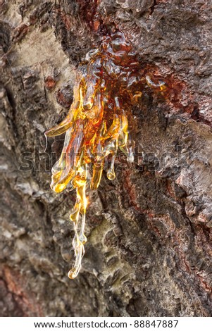 Solid amber resin drops on a cherry tree trunk. Macro shot.