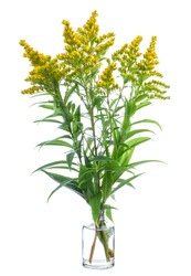 Solidago altissima (Canada goldenrod or late goldenrod) in a glass vessel with water