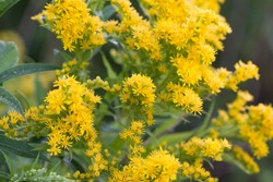 Solidago canadensis Canada goldenrod yellow flowers in meadow macro selective focus