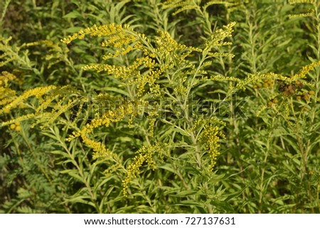 Solidago Virgaurea Tall Plant With Arrays Of Yellow Flowers Ez