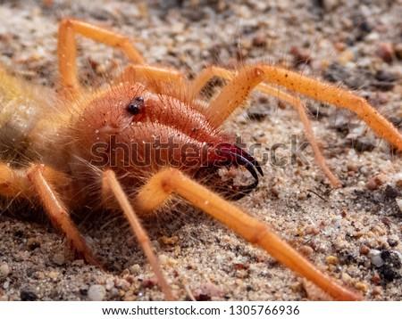 Solifuge (Camel Spider / Wind Spider / Red Roman) Closeups