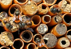 Solitary bees osmium creep on small houses-tubules of the cane.