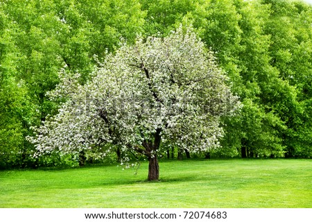 Solitary blooming apple tree in the garden