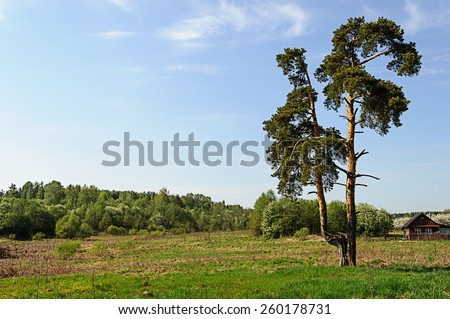 Solitary pine tree on outskirts of russian village in spring time #260178731