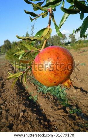 Solitary Pomegranate hangs from a branch in Moshav Matityahu's fields near Latrun