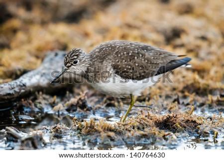 Solitary Sandpiper feeding in an Alberta Wetland