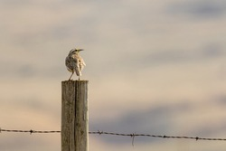 Solitary Western Meadowlark perches on fence post and sings at first light in the Foothills region of Alberta