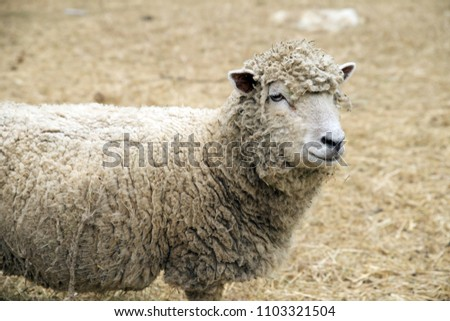 Solitary white babydoll sheep in a pen
