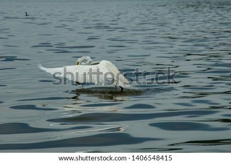 Solitary, white heron bath, Ardea alba, with top view, in Piratininga lagoon, Niterói, Rio de Janeiro, Brazil. #1406548415