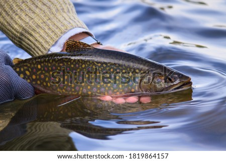 Photo of  Solitary, wild, and beautiful Brook trout being released back into the water on a lake in the Rocky Mountains of British Columbia