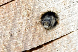solitary wild bee (Osmia bicornis) looking out of a hole in a tree trunk. insect hotel