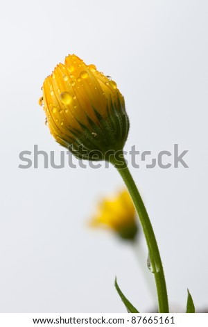Solitary yellow flower bud covered in dew