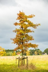 solitary young Pin Oak, Quercus palustris, in a nature reserve against blurred background with gray sky and cloud cover
